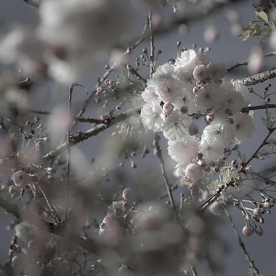 Budding Cherry Blossom #3 - Color Photograph - by Steven Keller