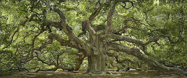 Angel Oak - Color Photograph - by Will Connor