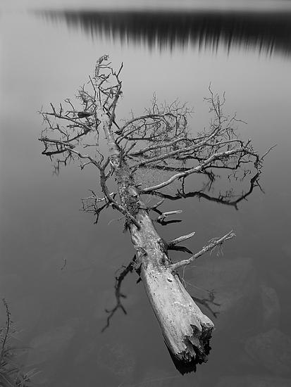 Tree On Echo Lake - Black & White Photograph - by Joseph Hyde