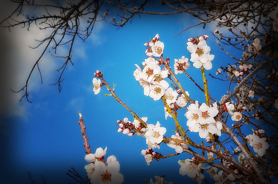 Cherry Blossoms - Color Photograph - by Lori Pond