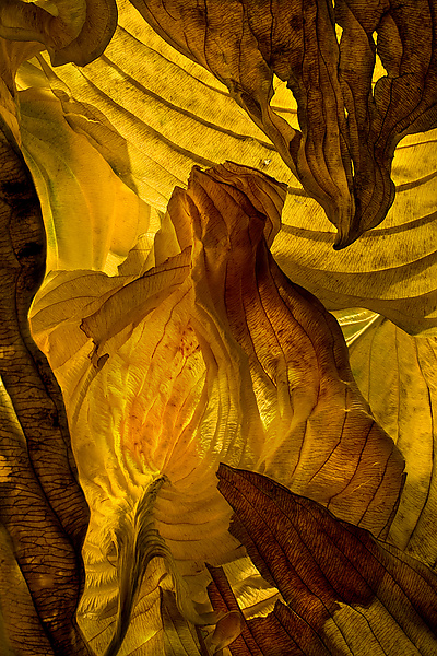 Hosta Leaves 13 - Color Photograph - by Ralph Gabriner