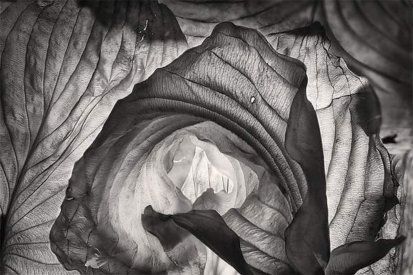 Hosta Leaves 3 - Black & White Photograph - by Ralph Gabriner