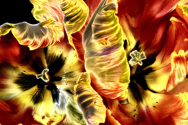 Solarized Tulips - Color Photograph - by Lori Pond
