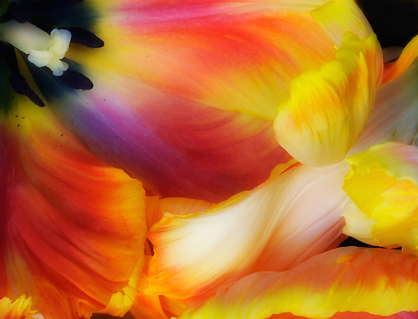 Tulip Wave - Color Photograph - by Lori Pond