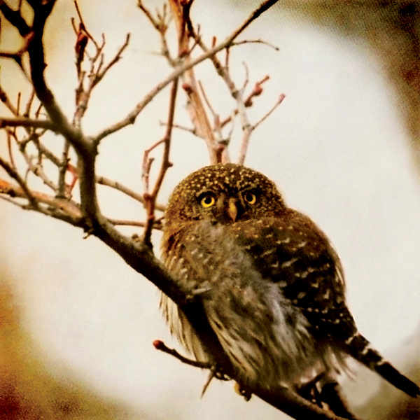 Song of a Northern Pygmy Owl I - Color Photograph - by Yuko Ishii