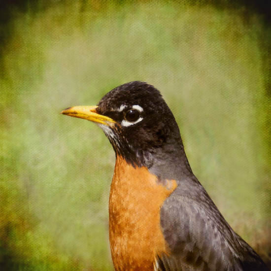 Song of an American Robin II - Color Photograph - by Yuko Ishii